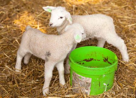 pasen schaap: two newborn lambs on straw with green water bucket on organic farm in the netherlands Stockfoto