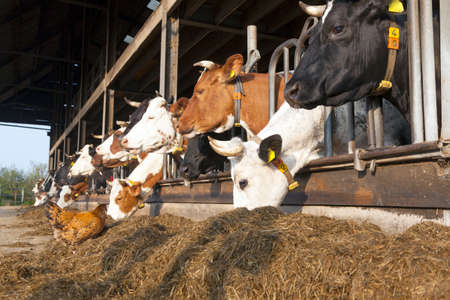chicken stands outside barn full of feeding cows at organic dutch farm in the netherlands
