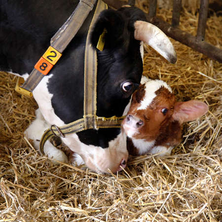 black cow and red calf in straw of barn on dutch organic farm in the netherlands