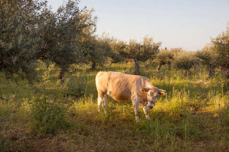 enchain: cow between olive trees with blue sea in the background in Mani on greek peloponnese