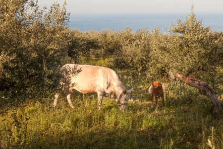 enchain: cow and calf between olive trees with blue sea in the background in Mani on greek peloponnese
