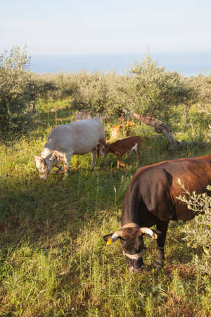 enchain: cows and calf between olive trees with blue sea in the background in Mani on greek peloponnese Stock Photo