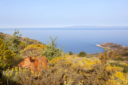 brown cow in colorful greek mountain landscape with flowers on peloponnese and blue sea in the background on sunny day in spring
