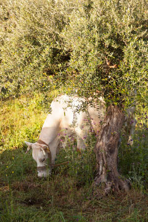 enchain: white cow grazes under olive tree with blue sea in the background in Mani on greek peloponnese