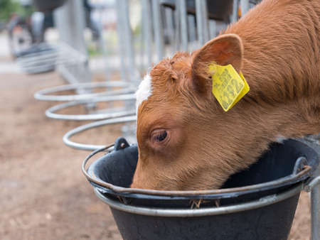 beast ranch: young brown calf with yellow ear tags drinks from black bucket