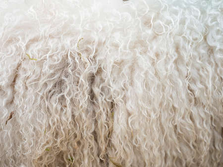 closeup of sheepskin on side of living sheep Stock Photo