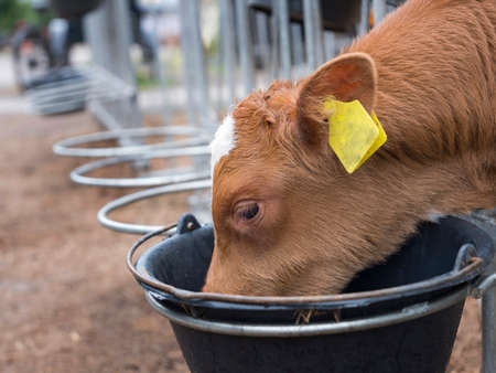 young brown calf with yellow ear tags drinks from black bucket
