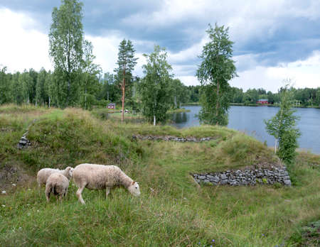 sheep in former fortification Särnäkoski in saima area of Finland with lake in the background