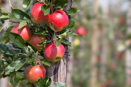 red ripe apples on tree in dutch orchard in the netherlands