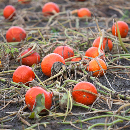 fresh organic orange pumpkins on field ready to be harvested on field in the north of the netherlands near groningen