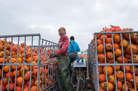 farmers harvest organic pumpkins on field in the netherlands in the province of groningen near loppersum