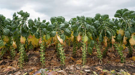 brussel sprouts in dutch field in the netherlands ready for harvest in autumn