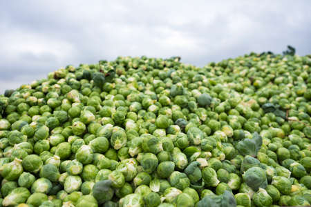 heap of freshly harvested brussel sprouts fresh from the land Standard-Bild