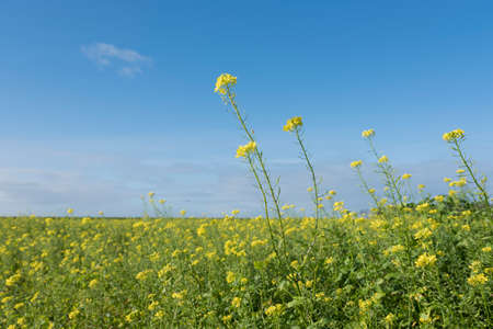 yellow flowers of mustard seed in field with blue sky