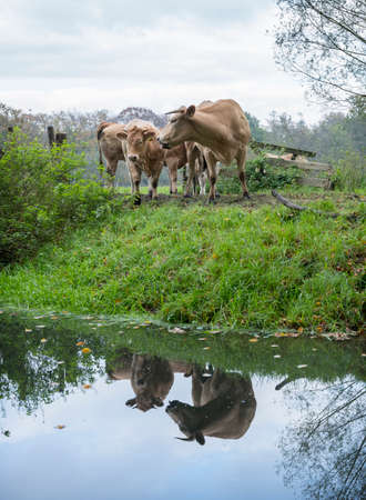 meat cows in green meadow near forest and canal in the netherlands near utrecht Stock Photo