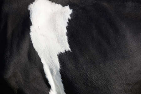 closeup of black and white hide on side of holstein cow