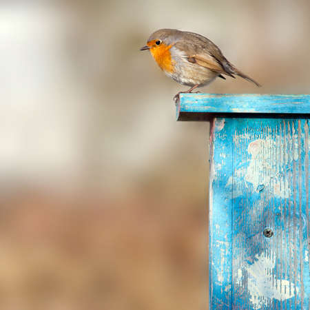 erithacus rubecula: robin sits in the sunshine on blue birdhouse Stock Photo