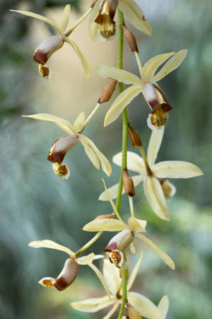 brown and white orchid flowers of species coelogyne massangeana Stock Photo