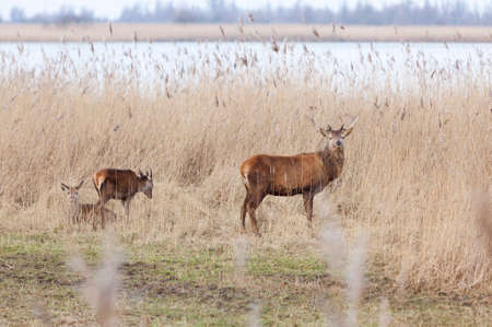 male red deer protect young in oostvaarders plassen near lelystad in the netherlands Stock Photo