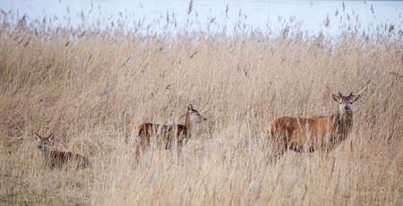 male red deer protect young in oostvaarders plassen near lelystad in the netherlands Stock Photo