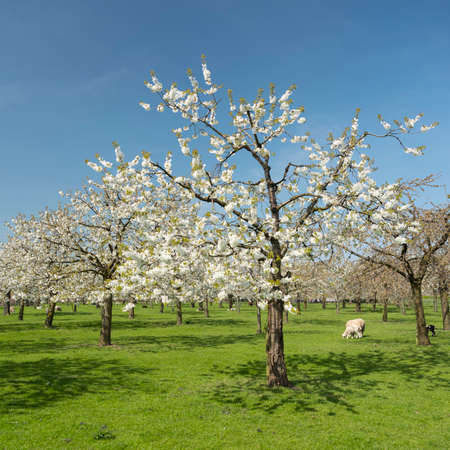 sheep and cherry blossom spring orchard in green grass under blue sky in the netherlands near utrecht