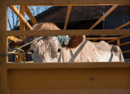 blonde daquitaine cow ready for transport in cart on farm