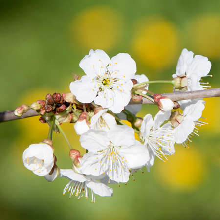 closeup of cherry blossoms in orchard near utrecht in holland in spring Stock Photo