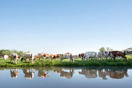 red and white cows under blue sky in green grassy meadow reflected in water of canal on sunny spring day in the netherlands near Leerdam