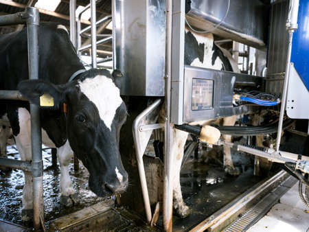 Black and white Holstein cow waits for other cow milked by milking robot on dutch farm in Holland Фото со стока