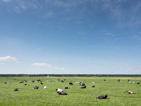 Vast meadow area with black and white cows in green grassy field between Amsterdam and Utrecht on sunny day in spring