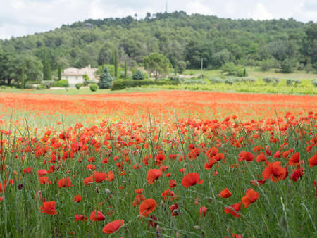house in french provence area with field full of red blooming summer poppies