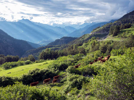 brown cows in mountain meadow near col de vars in french alps of haute provence Imagens