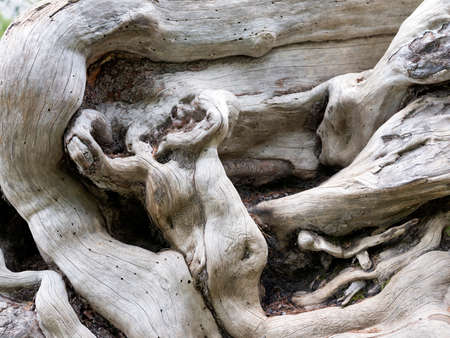 almost abstract composition consisting of intricate forms of tree trunk, branches and roots of very old dead tree
