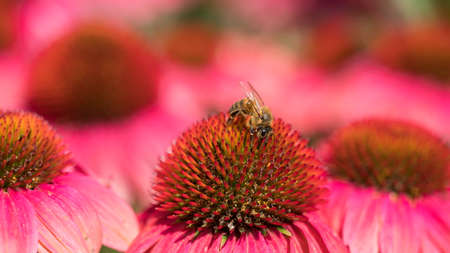 Closeup of bee on pink and red flowers of echinacea purpurea in garden
