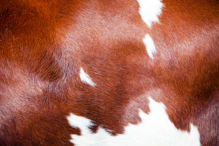 brown and white part of hide on side of spotted dutch holstein cow