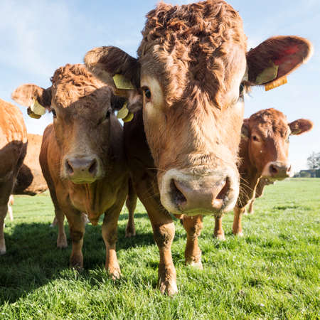 limousin cows and bull in green meadow under blue sky near river Waal and Herwijnen in the netherlands 版權商用圖片 - 109881430