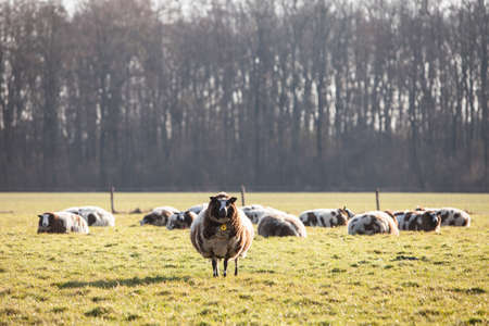 spotted sheep in meadow with trees in the vicinity of utrecht in the netherlands Stok Fotoğraf