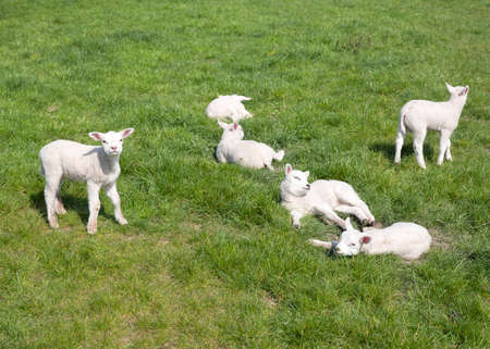 small newborn lambs enjoy the sun in green meadow on sunny spring day