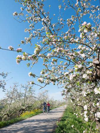 people ride bike on dike between blossoming apple trees under blue sky in holland near geldermalsen