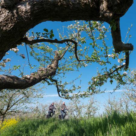 people ride bike on dike between blossoming apple trees under blue sky in holland near geldermalsen Stock Photo