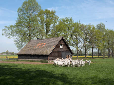 white goats on sunny day in spring and old barn on utrechtse heuvelrug in the netherlands near utrecht in the netherlands 版權商用圖片