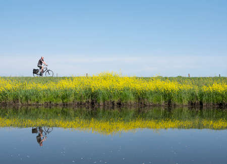 man rides bicycle along water of valleikanaal near leusden in the netherlands and passes yellow blooming flowers of rapeseed in spring