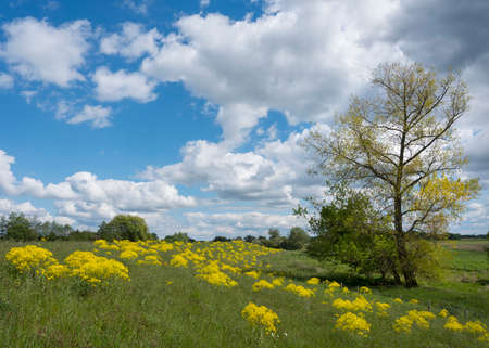 yellow spring flowers on dike and tree in flood plains of river lek in dutch province of utrecht in the netherlands