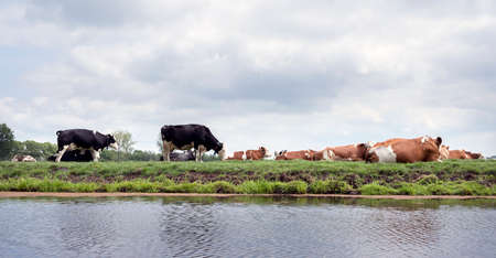 black and red spotted cows lie and stand in green dutch meadow near canal in the netherlands