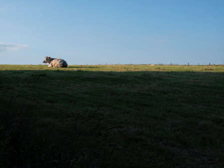 cow lies in evening landscape between La Roche and Bastogne in the belgian Ardennes
