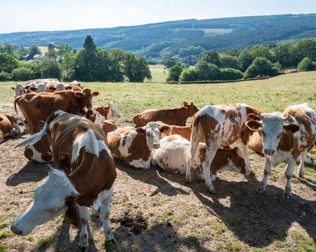 brown and white spotted cows in evening meadow near stavelot and Spa in the belgian ardennes Banco de Imagens - 126988055