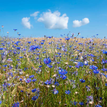 corn flowers in summer wheat field under blue sky with fluffy clouds