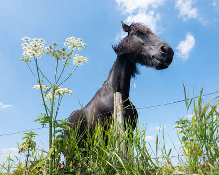 goofy black horse in meadow with summer flowers under blue sky in the netherlands