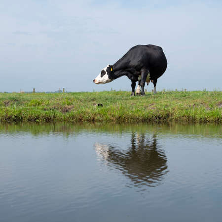 black cow in green meadow reflected in water of canal under blue sky in the netherlands