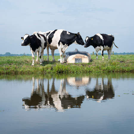 black cows and boat in green meadow reflected in water of canal under blue sky in the netherlands